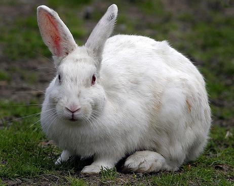 Вакцинация кроликов.